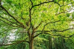 高橡树机盖  晴朗的落叶林 库存图片