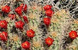 高沙漠开花的仙人掌 免版税图库摄影