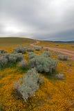 高沙漠野花在兰卡斯特和Palmdale加利福尼亚之间的阴暗天空下 免版税图库摄影