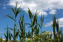 高沼泽植物-蓝天 库存图片
