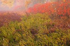 高灌木的蔓越桔 免版税库存照片