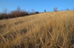 高烘干在清洁的黄色草在一个山坡在秋天在蓝天下 库存图片