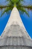 高热带健康棕榈树从下面 免版税库存照片