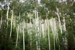 高白杨木树的种植园在山的 免版税库存图片