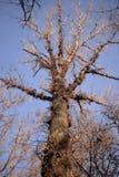 高白杨树的底视图没有叶子的 库存图片