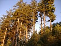 高的杉木 免版税图库摄影