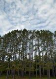 高的杉木 库存图片