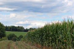 高的玉米 免版税库存图片