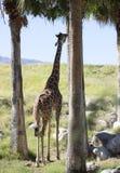 高的长颈鹿 免版税库存照片
