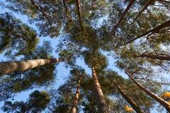 高立陶宛森林杉木 免版税库存图片