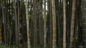 高竹树在巴统植物园,英王乔治一世至三世时期自然,热带植物里 影视素材
