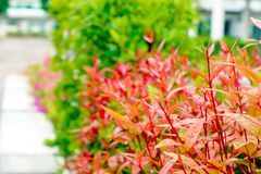 高级克里斯蒂娜年轻红色叶子在庭院里装饰植物 库存图片