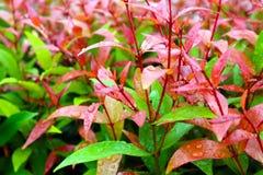 高级克里斯蒂娜年轻红色叶子在庭院里装饰植物 库存照片