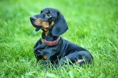 高级达克斯猎犬 免版税库存照片