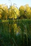 高绿草特写镜头 与明亮的黄色f的白桦树 库存照片