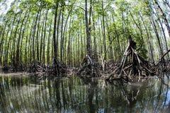 高美洲红树树 免版税库存图片