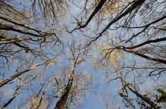 高老树底视图在冬天森林蓝天的在背景中 阿塞拜疆 图库摄影