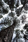 高老树底视图,天空在背景中 库存照片