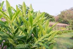高良姜叶子和庭院背景 免版税图库摄影