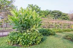 高良姜和Plu叶子有庭院背景 库存照片