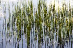 高草在池塘 免版税库存图片