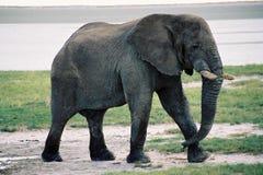 高视阔步地走的大象 库存图片