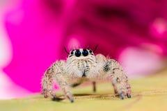 高跳的宏观放大照片蜘蛛 在黄色叶子的跳跃的蜘蛛Hyllus 库存图片