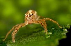 高跳的宏观放大照片蜘蛛 库存图片
