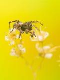 高跳的宏观放大照片蜘蛛 免版税图库摄影