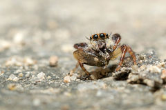 高跳的宏观放大照片蜘蛛 图库摄影