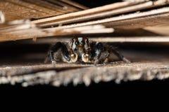 高跳的宏观放大照片蜘蛛 免版税库存图片