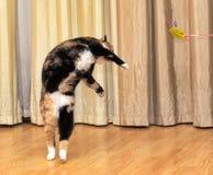高跳跃的猫 库存图片