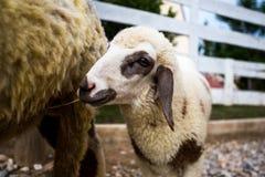 兴高采烈的羊羔 免版税库存图片