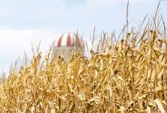 高金黄玉米在领域偷偷靠近准备好收获、红色和丝毫 图库摄影