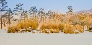 高金黄色的灌木冬天风景在一个公园 库存图片