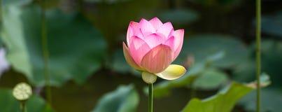 高雅和雍容的绿色标志与一朵美丽的桃红色莲花 免版税库存图片