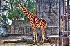 高非洲长颈鹿 免版税库存照片