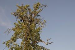 高,老,偏僻的洋梨树 库存照片