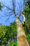 高死的树在森林地 免版税库存图片