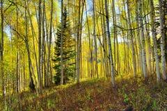 高黄色和绿色白杨木森林在叶子季节期间的 免版税图库摄影