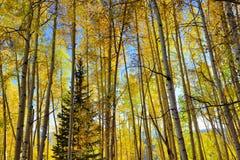 高黄色和绿色白杨木森林在叶子季节期间的 图库摄影