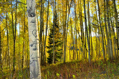 高黄色和绿色白杨木森林在叶子季节期间的 库存照片