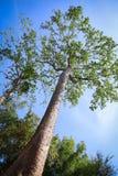 高绿色树在森林里 免版税库存照片