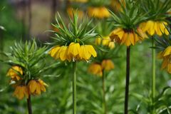 高黄色贝母imperialis 免版税库存图片