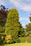 高leylandii树 库存图片