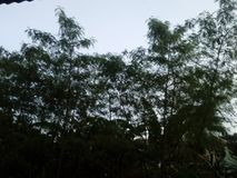 高malunggay树画象 库存照片