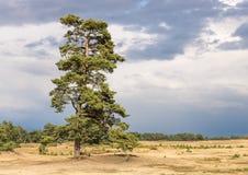 高und美丽的苏格兰松树,站立在沙丘 免版税库存图片