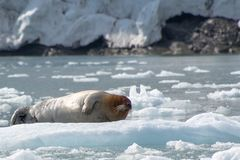 髯海豹,斯瓦尔巴特群岛-挪威 图库摄影