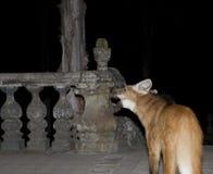鬃狼,鬃狼, Chrysocyon brachyurus 库存图片