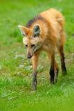 鬃狼, Chrysocyon brachyurus,最大犬科动物南美 豺狗在自然栖所 在绿草的狼,银 库存图片
